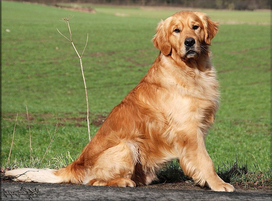 Ivys Paradise Golden Retriever Golden Retriever Zucht In Schleswig